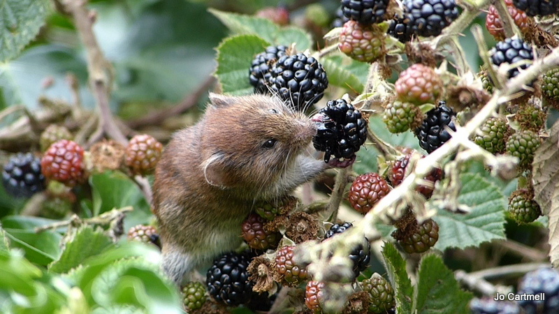 Bank Vole Copyright Jo Cartmell