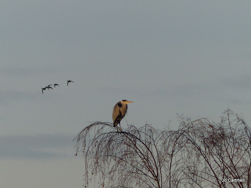 Lone heron surveying Thrupp Lake copyright Jo Cartmell