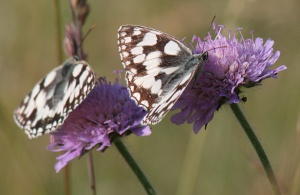Marbled Whites � Jo Cartmell