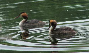 Grebes � Jo Cartmell