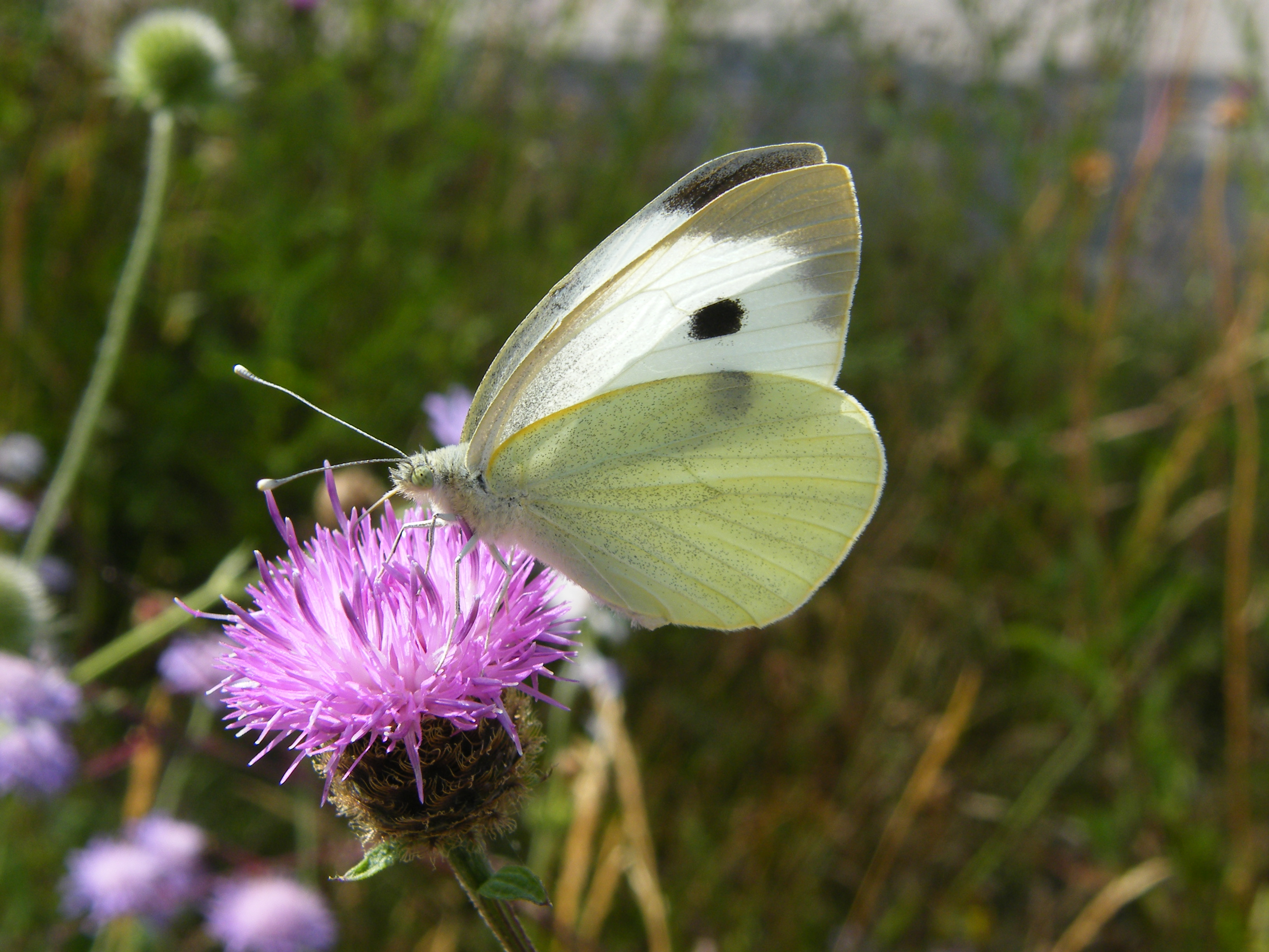 Large white on Knapweed (c) Jo Cartmel